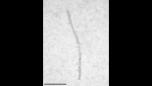 Nano-scale worms provide route to nano-necklace structures (Source: Georgia Institute of Technology)