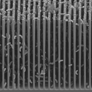 Bacteria, nestled within an array of nanowires, use electricity from the wires to produce valuable chemicals. (Source: Peidong Yang/UC Berkley)