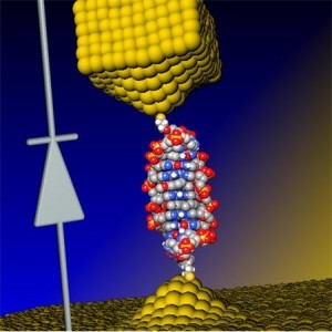 Illustration of the coralyne-intercalated DNA junction used to create a single-molecule diode, which can be used as an active element in future nanoscale circuits. (Source: University of Georgia and Ben-Gurion University)