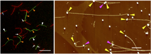 (Left) Growth of tandem fluorescent fibrils. (Right) Fibrils extended from gold nanoparticles placed on the surface of a substrate. (Source: Hokkaido University)