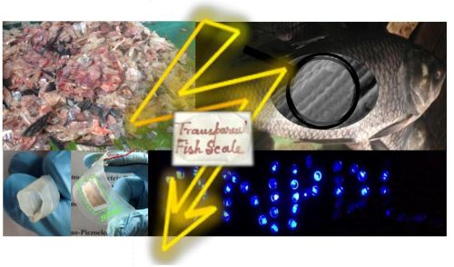 Waste fish scales (upper left corner) are used to fabricate flexible nanogenerator (lower left) that power up more than 50 blue LEDs (lower right). An enlarged microscopic view of a fish scale shows the well-aligned collagen fibrils (upper right). The possibility of making a fish scale transparent (middle) and rollable (extreme left lower corner) is also illustrated. (Source: Sujoy Kuman Ghosh and Dipankar Mandal/Jadavpur University)